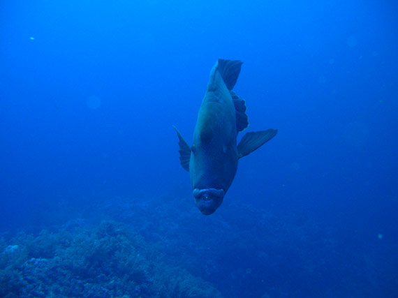 Picture of a Napoleon Wrasse in the Red Sea