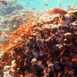 Shallow reef coral