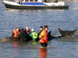 Stranded whale in the Thames with BDMLR volunteers