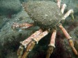Picture of a Spider Crab in the UK