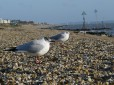 Sea birds: safer on dry land...
