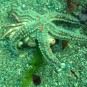 Starfish consuming an upside-down crab - could take a while
