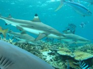 Sharks in Fiji - photo courtesy Nigel Marsh
