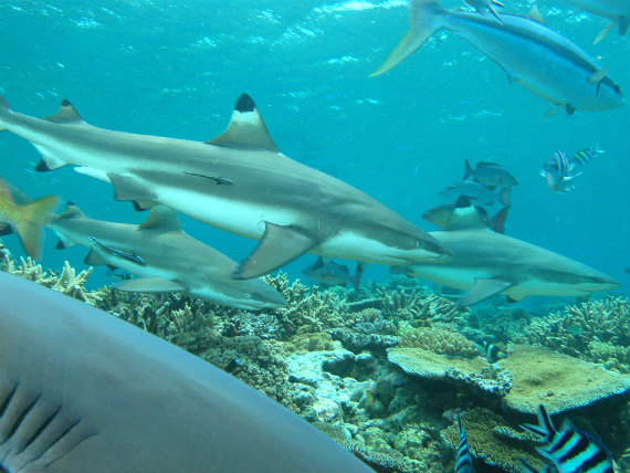 Sharks in Fiji - photo courtesy Nigel Marsh