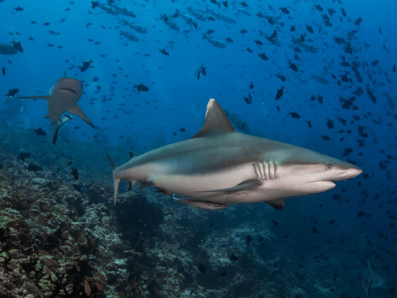 See sharks, earn for your club - photo credit: Simon Lorenz