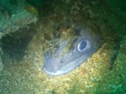 Conger eel... line dancer