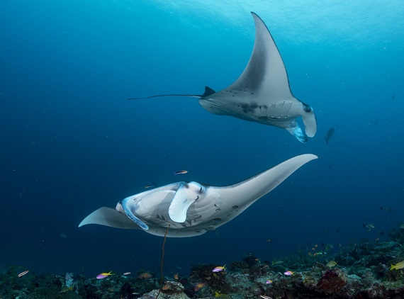 Scuba diving with Manta Rays in beautiful Bali