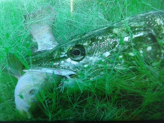 Pike eating a fish - another victim